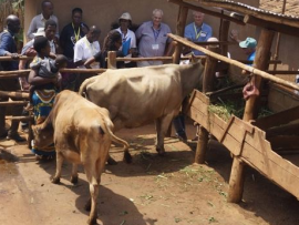 Como a vaca Jersey está ajudando a acabar com a fome e a miséria na África